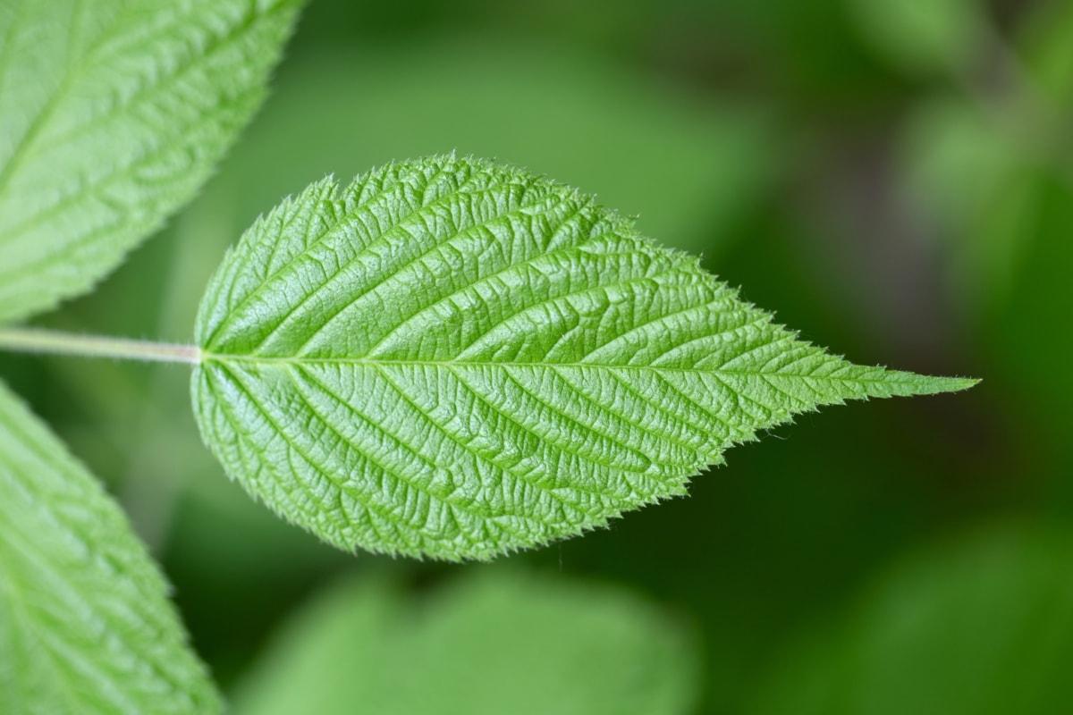 rozmyte, Szczegóły, szczegóły, zielonych liści, poziome, mięta, Natura, zioło, drzewo, liść
