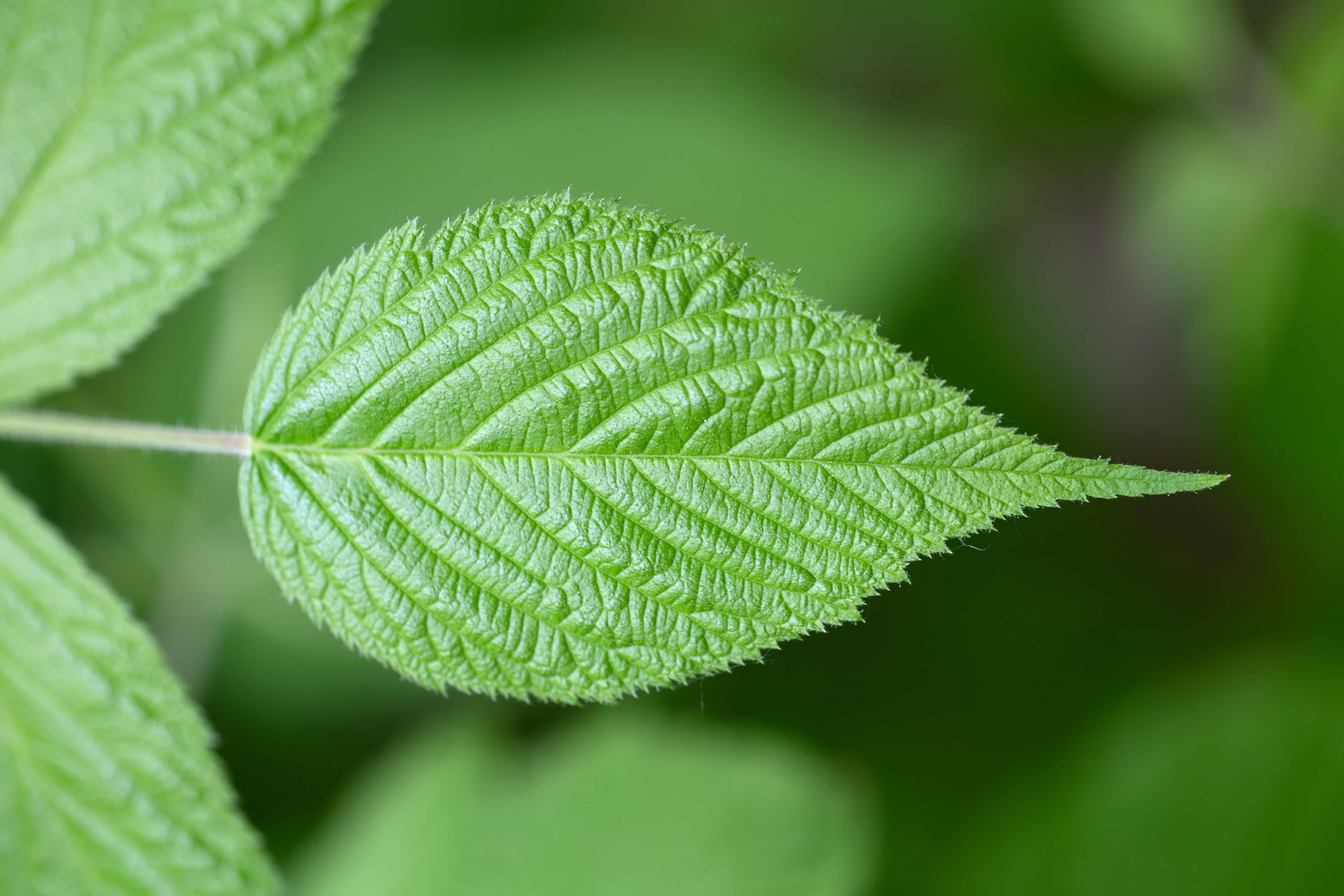 leaf leaves nature horizontal tree mint blurry herb kb if