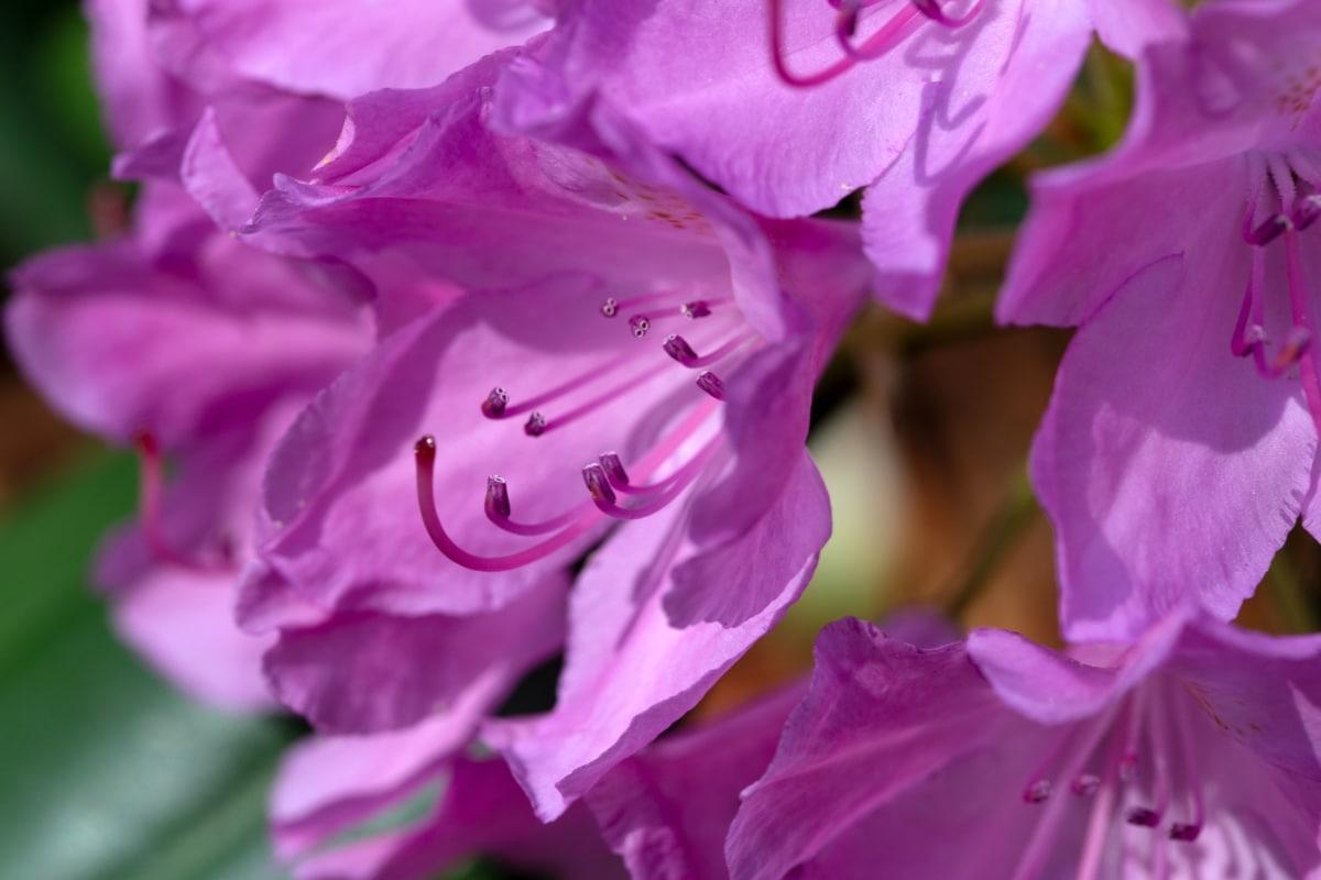 rózsaszín, természet, növény, virág, kert, Flóra, világos, nyári, levél, virágzó