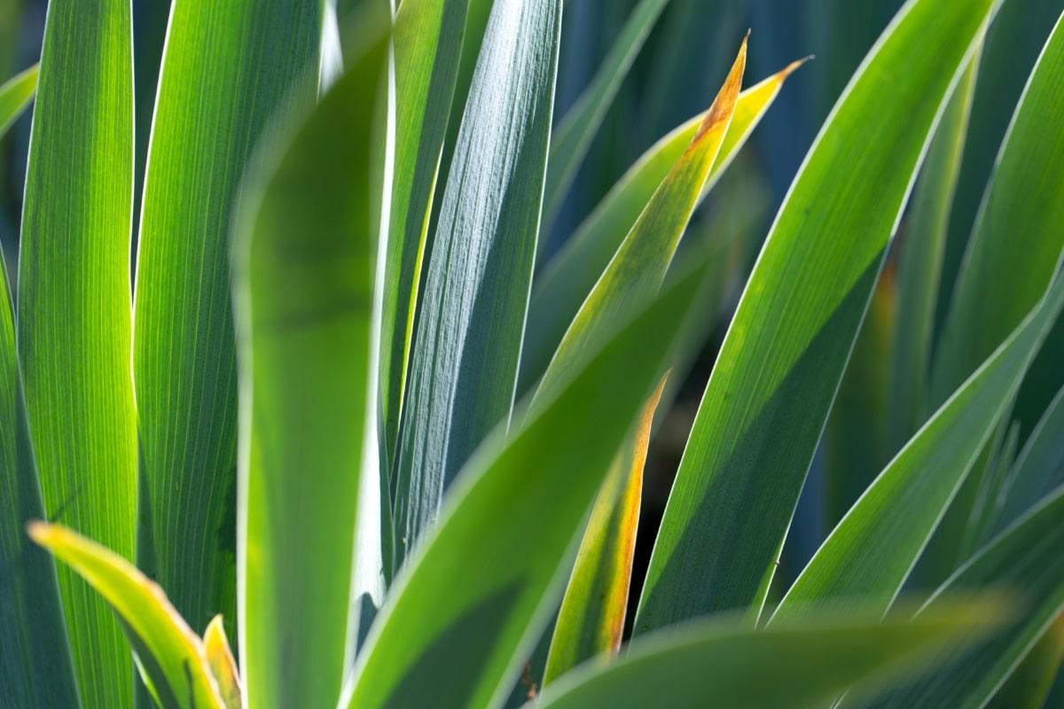 økologi, løv, grønne blade, Yucca, blad, ørken anlæg, flora, plante, plante, haven