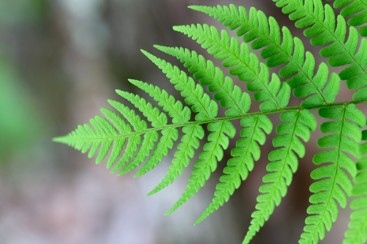 close-up, fern, green leaf, nature, flora, plant, forest, leaf, outdoors, summer