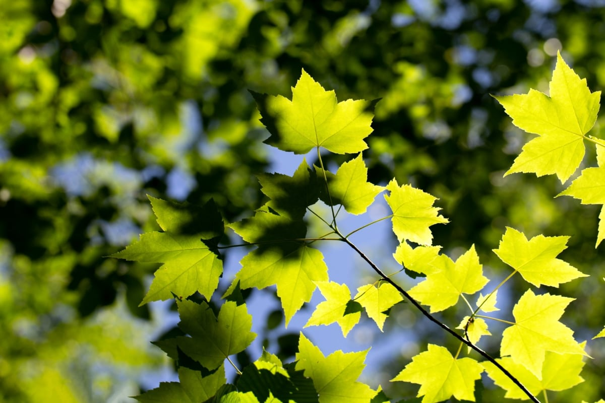 forest, green leaves, greenish yellow, oak, tree, nature, rapeseed, leaves, bright, leaf