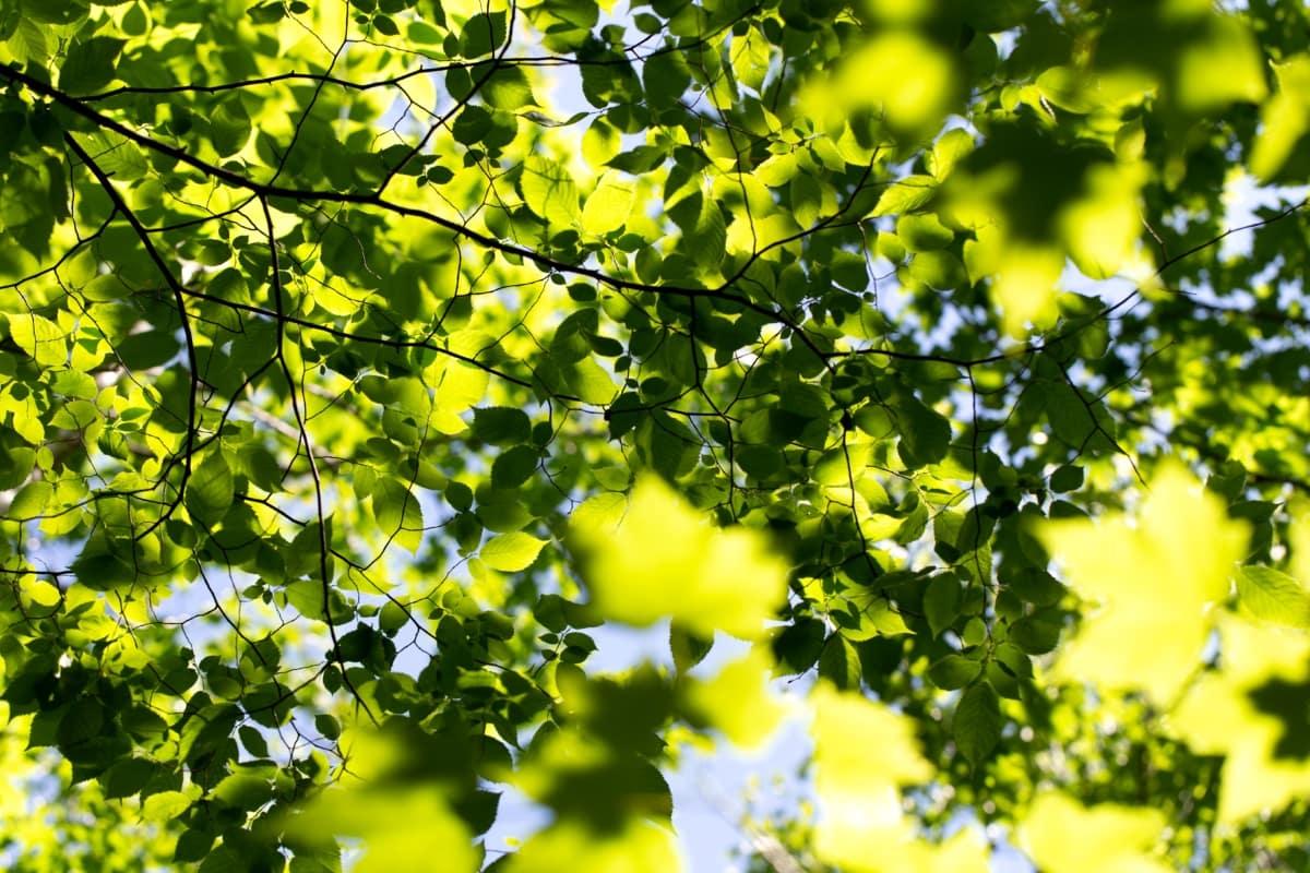 pobočky, zelené listy, slnečných lúčov, žlté listy, žltkastý, slnko, listy, strom, pobočka, les