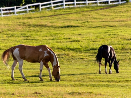 farmland, grazing, horses, farm, grass, animal, cavalry, stallion, field, horse