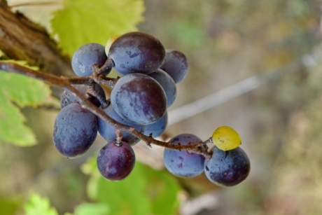 blue, grapes, grapevine, organic, leaf, nature, vineyard, outdoors, grape, vine