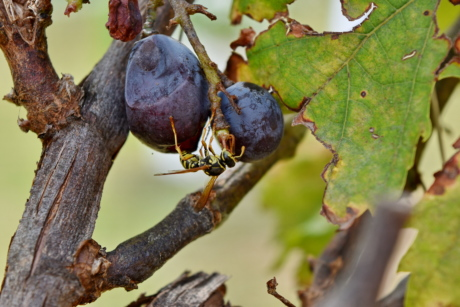grapevine, insect, wasp, tree, fruit, nature, leaf, food, vine, wine