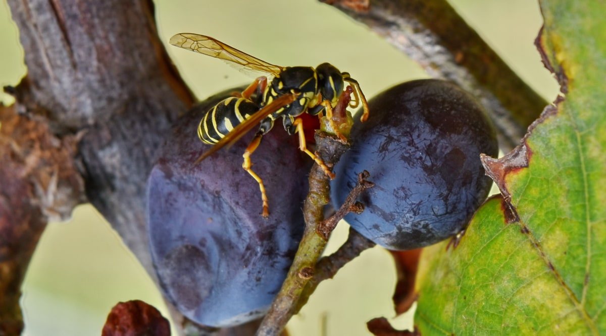 zväčšenie, hrozno, vínna réva, hmyzu, osa, bezstavovcov, príroda, článkonožcov, vonku, ovocie