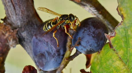 close-up, grapes, grapevine, insect, wasp, invertebrate, nature, arthropod, outdoors, fruit