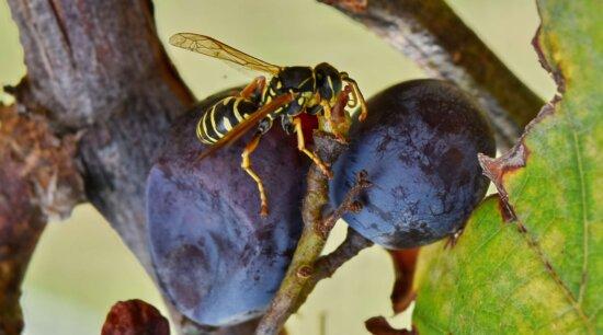 közelkép, szőlő, szőlő, rovar, darázs, gerinctelen, természet, ízeltlábúak, szabadban, gyümölcs