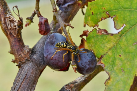 animal, wasp, nature, insect, tree, fruit, outdoors, leaf, food, wildlife