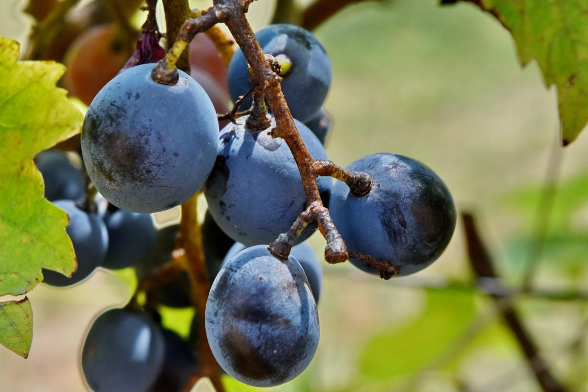 hrozno, vínna réva, organické, vinič, hrozna, krídlo, vonku, príroda, ovocie, vinice