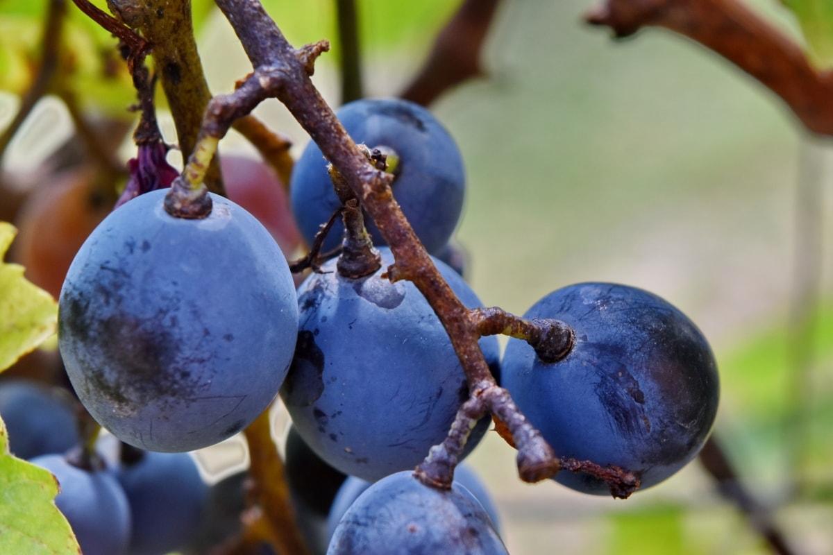 plava, grana, voće, grožđe, vinove loza, organsko, priroda, na otvorenom, list, vinove loze