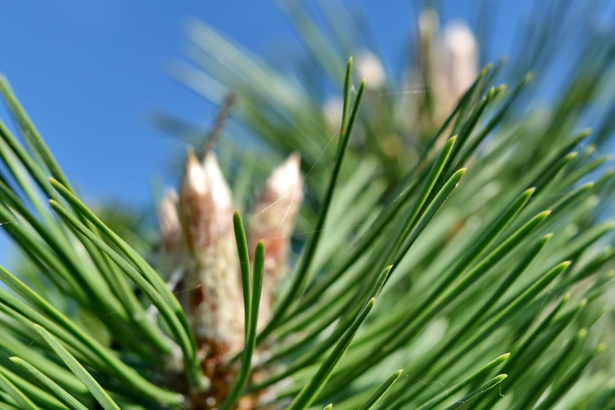 blurry, cobwebs, conifers, detail, focus, nature, pine, plant, grass, outdoors