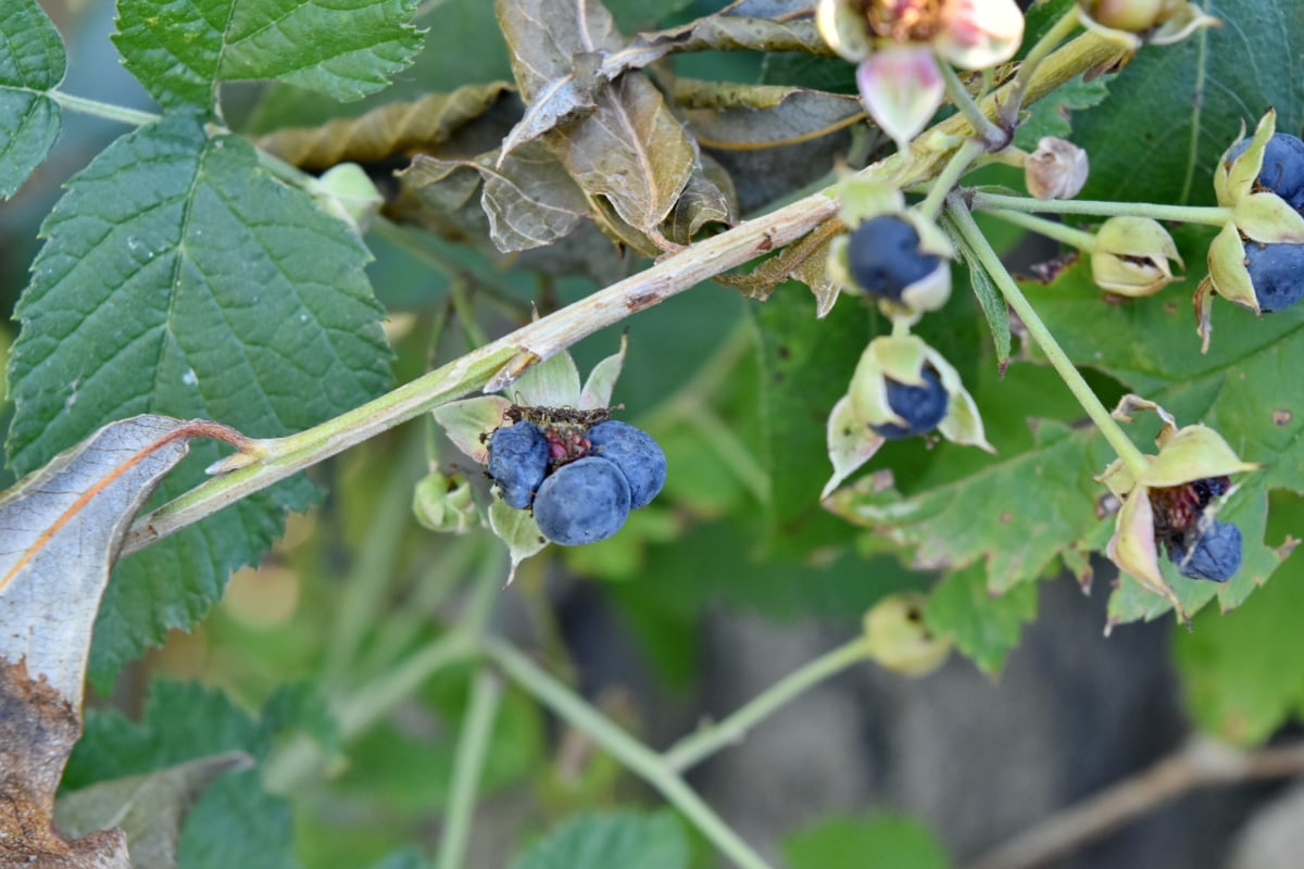 shrub, leaf, fruit, plant, nature, berry, flora, outdoors, agriculture, summer