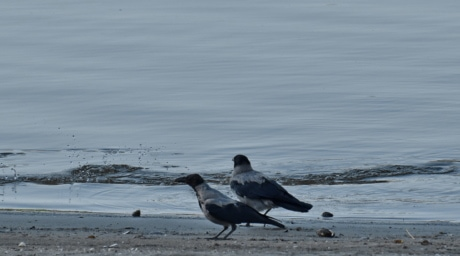 birds, crow, Danube, riverbank, sand, bird, beach, wildlife, water, animal