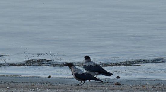 Vögel, Krähe, Danube, Flussufer, Sand, Vogel, Strand, Tierwelt, Wasser, Tier