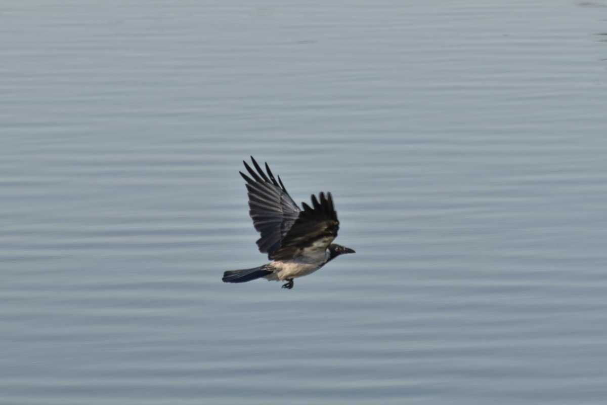 vrana, lietanie, Nadjazd, voda, krídla, divoké, vták, voľne žijúcich živočíchov, jazero, zameraním