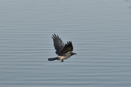 crow, flying, flyover, water, wings, wild, bird, wildlife, lake, ornithology