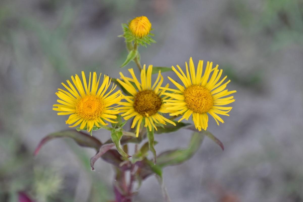 цветок, Флора, трава, завод, желтый, Лето, Природа, лист, Пыльца, на открытом воздухе