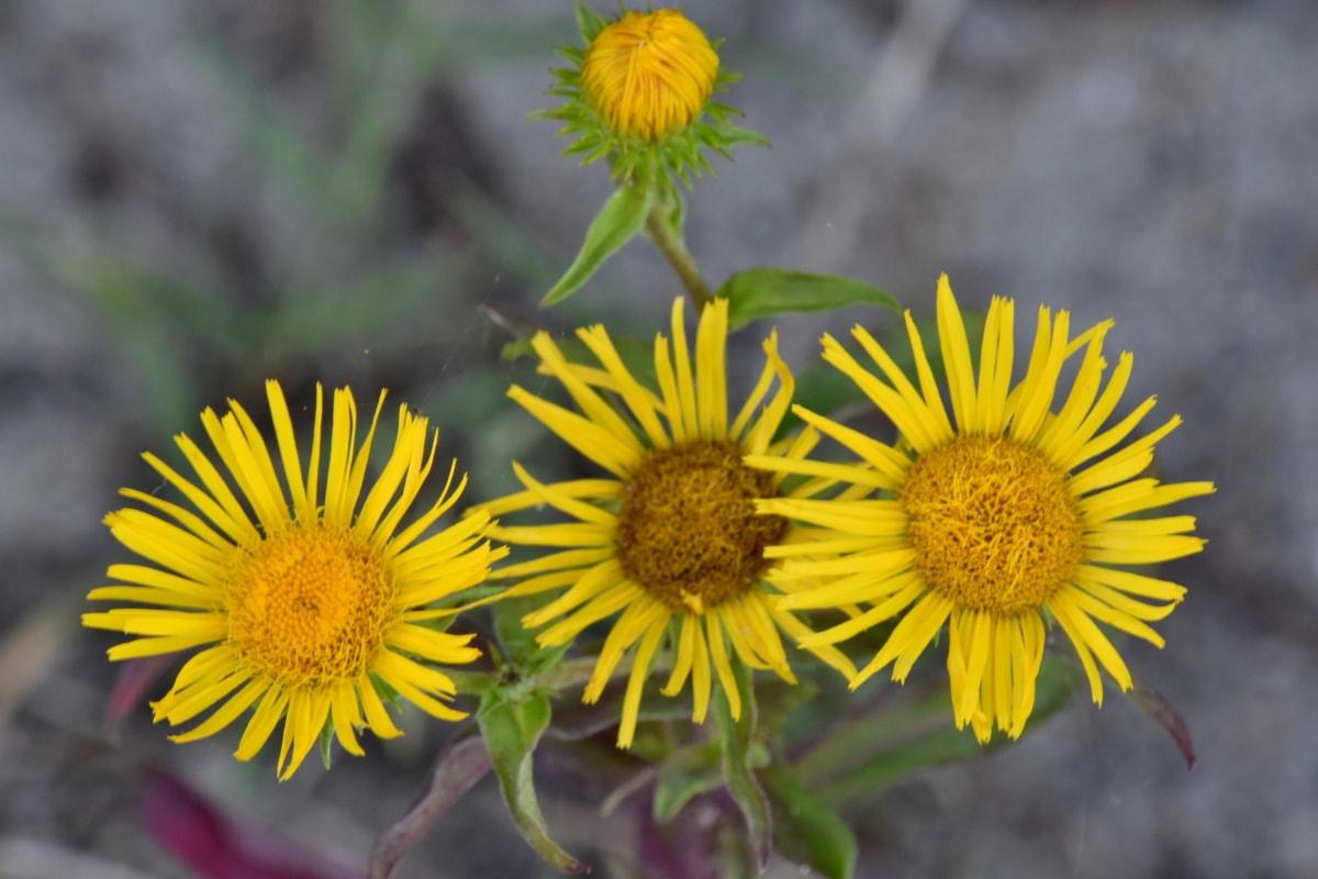 floare, galben maro, iarbă, flora, vara, natura, plante, galben, frunze, polen