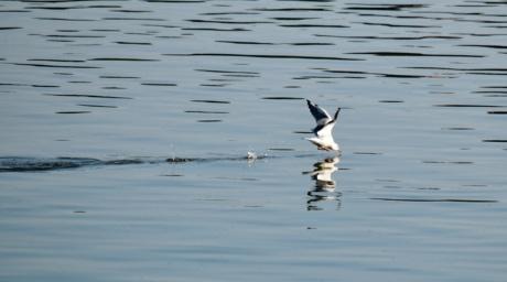 måge, wading fugl, shore bird, refleksion, vand, søen, fugl, dyreliv, natur, aviær