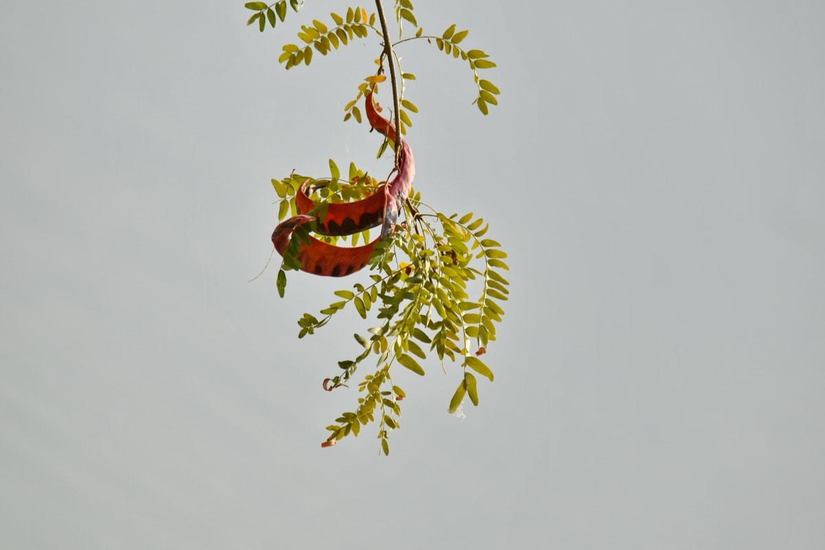 гілки, зелене листя, висячі, лист, дерево, природа, відділення, флора, колір, літо