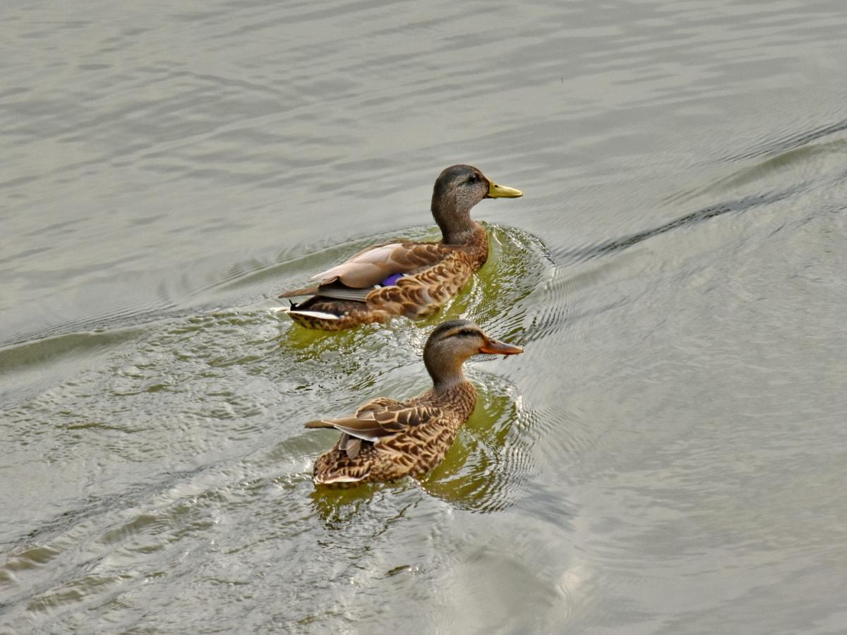pierko, vodné vtáctvo, kačica divá, vták, voda, kačacie vták, voľne žijúcich živočíchov, kačica, jazero, bazén