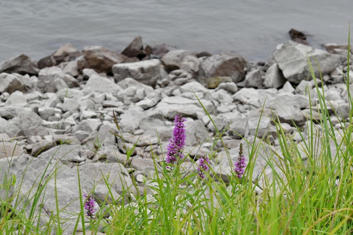big rocks, Danube, flowers, green grass, riverbank, summer, flower, herb, plant, nature