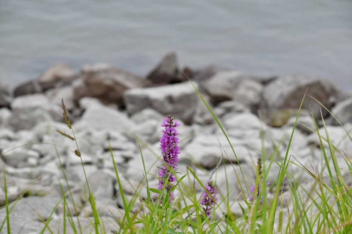 Pantai, berbunga, padang rumput, tepi sungai, musim panas, bunga, ramuan, alam, tanaman, air
