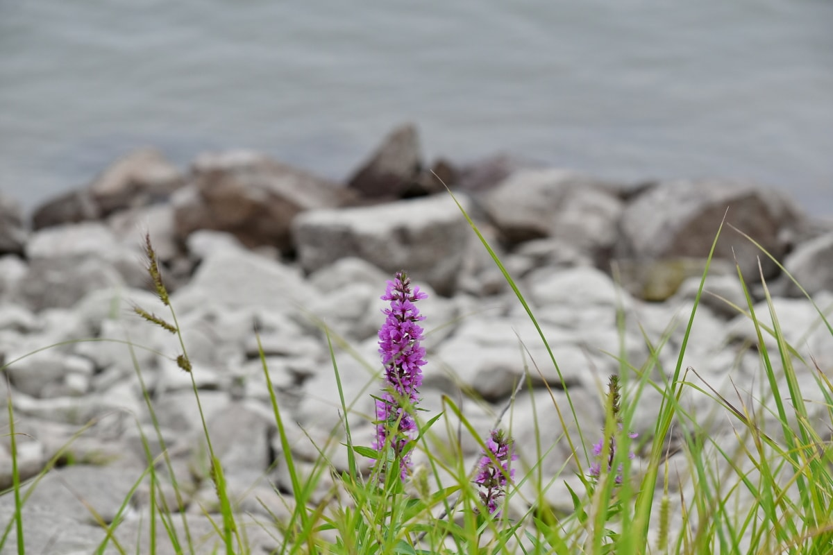 coastline, flowering, grassland, riverbank, summer, flower, herb, nature, plant, water