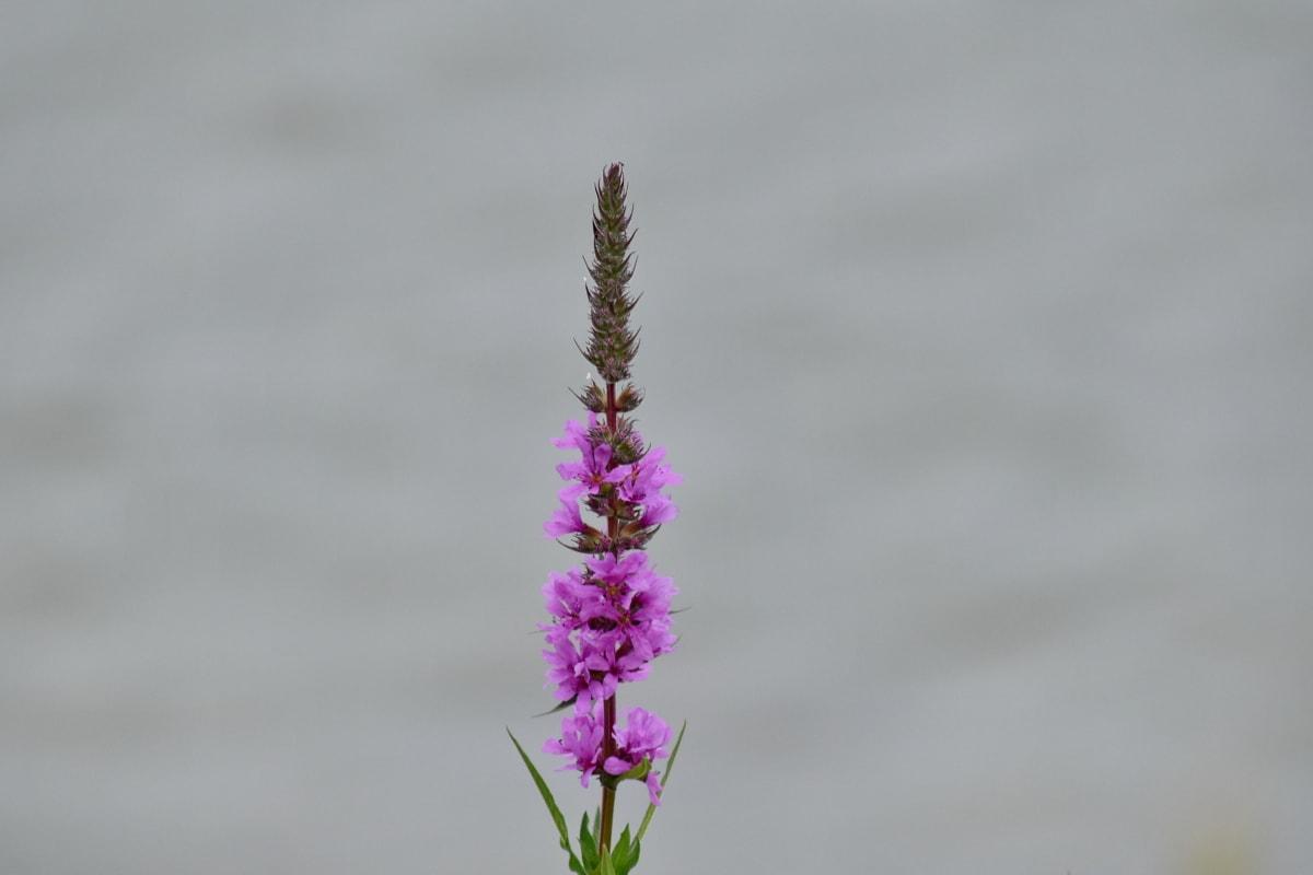 kwiat, fioletowo, pionowe, roślina, ogród, zioło, kwiat, Natura, różowy, na zewnątrz