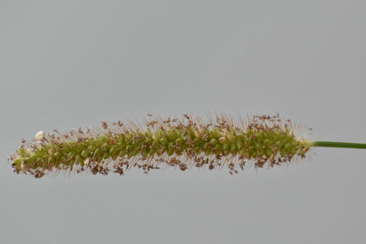 izbliza, lišće, zelena trava, horizontalne, sjeme, trava, polje, biljka, drvo, priroda