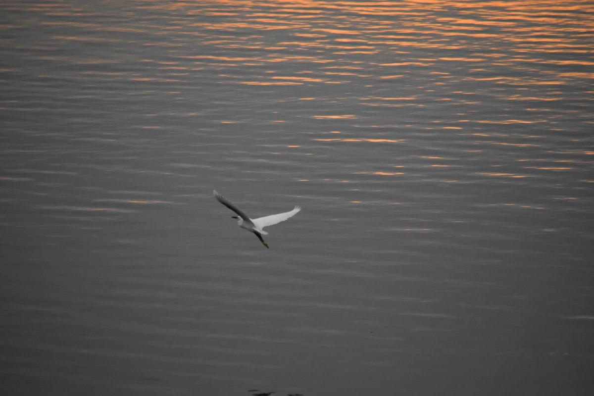 bird, egret, horizon, lakeside, overflight, sunset, water, white, wings, aquatic bird