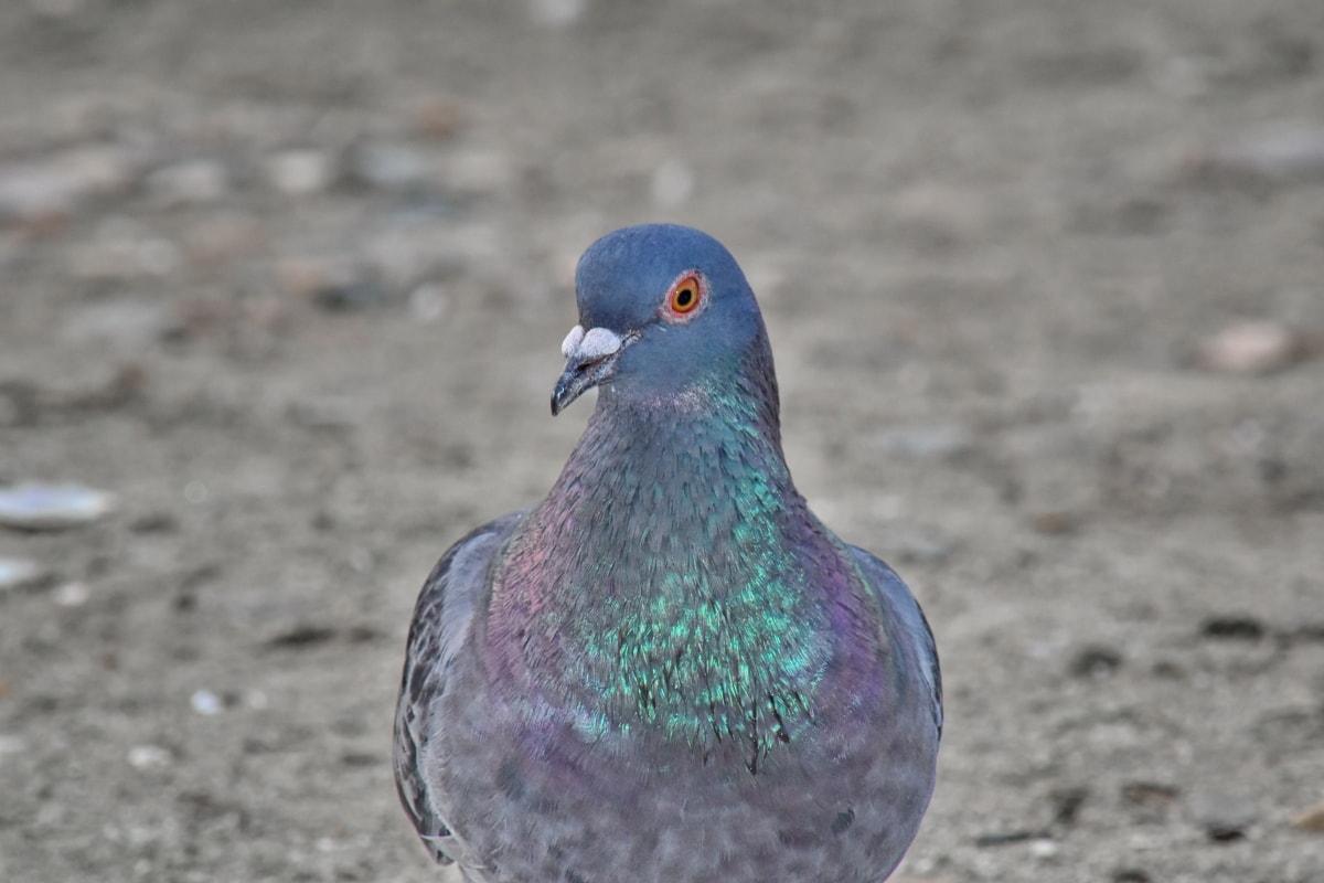 gyönyörű, közelkép, színes, fej, galamb, portré, vadon élő állatok, toll, madár, csőr