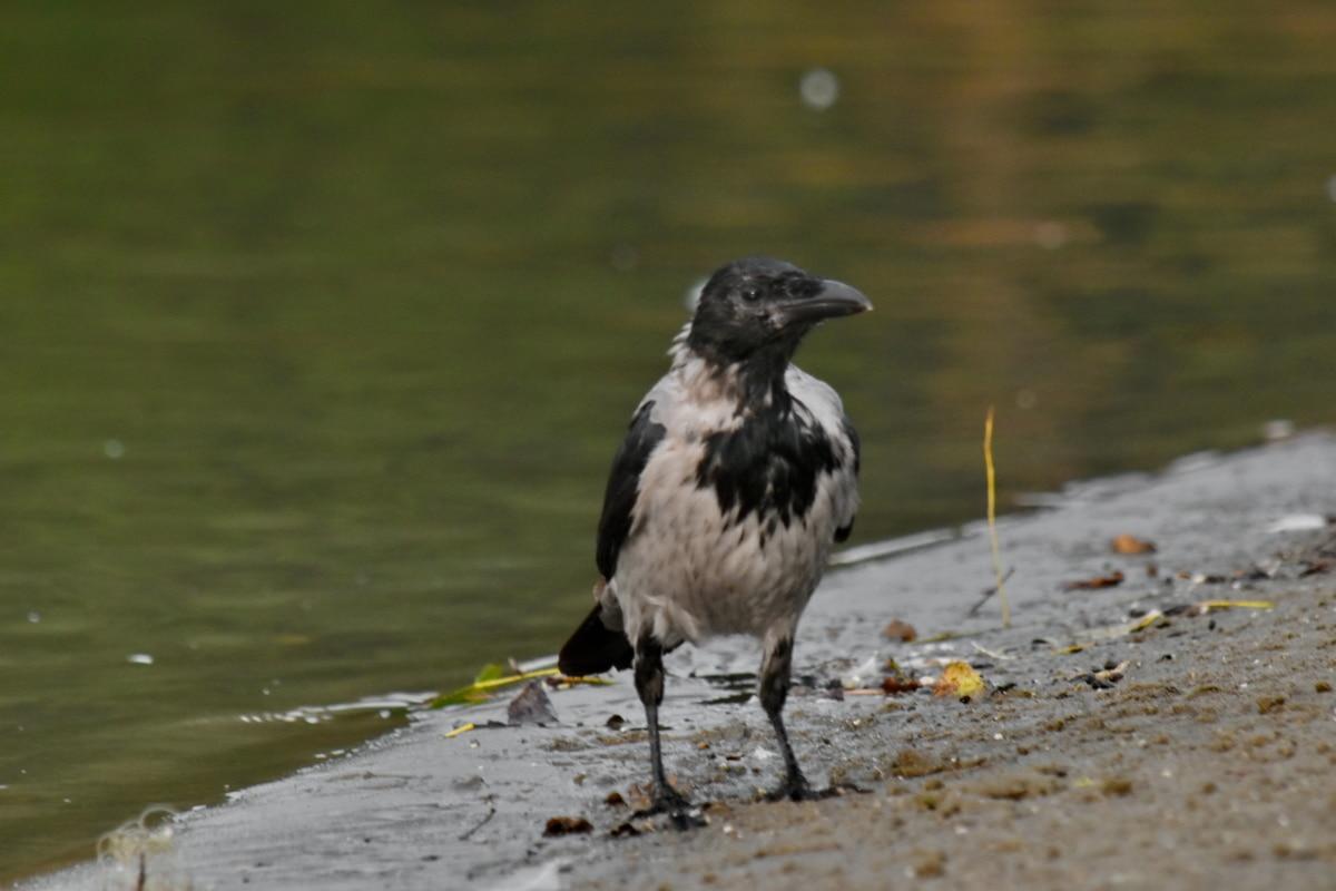 burung hitam, gagak, tepi sungai, liar, satwa liar, burung, paruh, alam, air, hewan