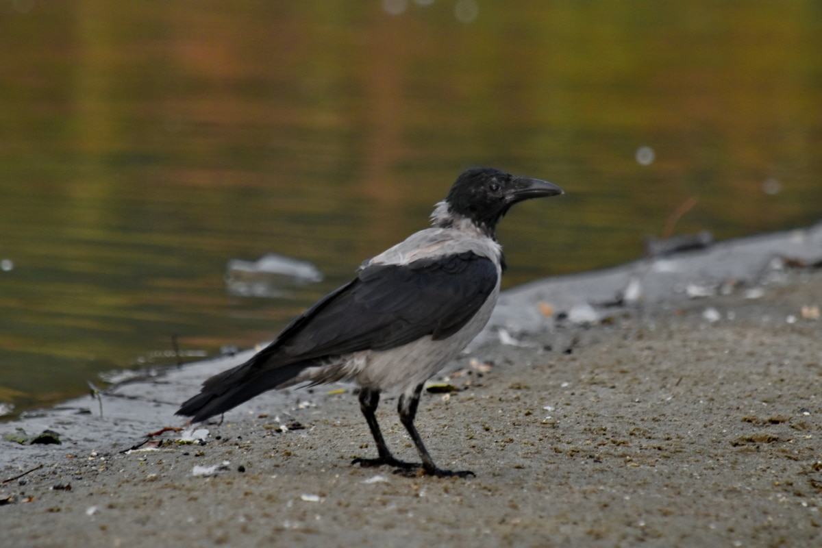 crna ptica, obala, kruna, jezero pejzaž, ornitologija, kljun, biljni i životinjski svijet, pero, divlje, ptica