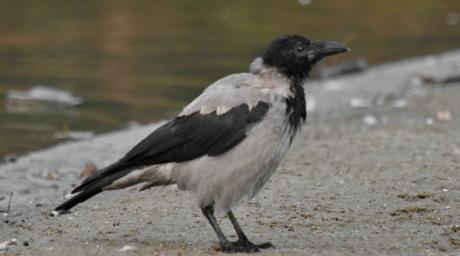 musta ja valkoinen, Mustarastas, Varis, nokka, lintu, villieläimet, Luonto, eläinten, ulkona, sulka