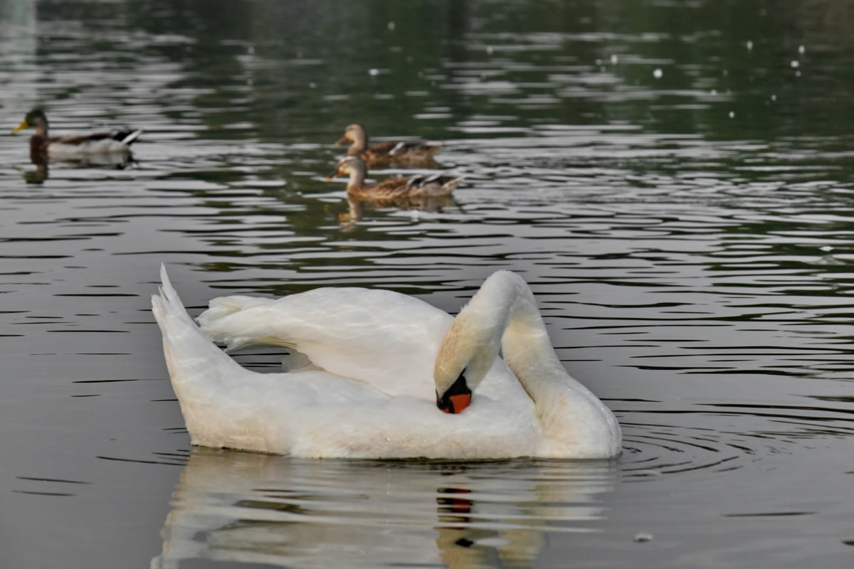 duck bird, ducks, swimming, waterfowl, swan, bird, water, lake, reflection, river