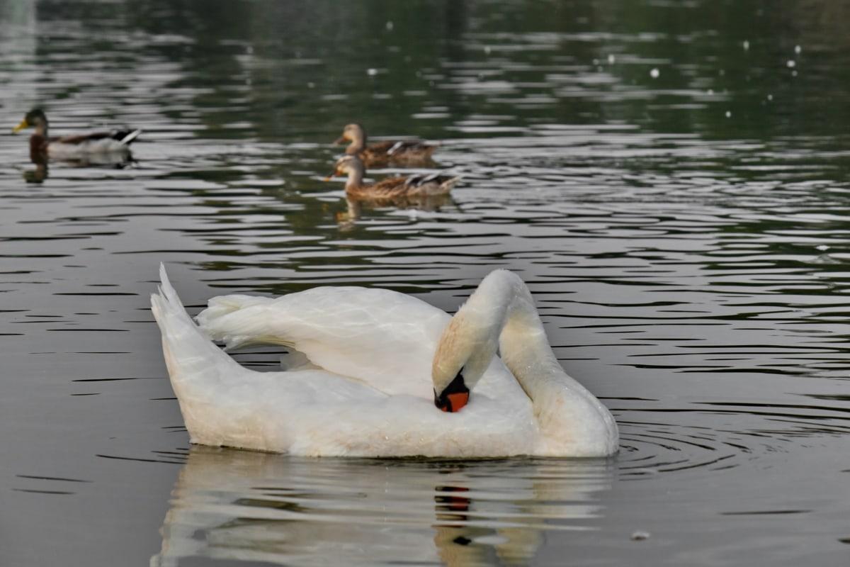 kačacie vták, kačice, plávanie, vodné vtáctvo, labuť, vták, voda, jazero, reflexie, rieka