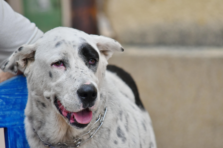 フリー写真画像: 大きな, 黒と白, 陽気です, 首輪, 犬, 縦方向, 純血種, かわいい, ペット, 動物