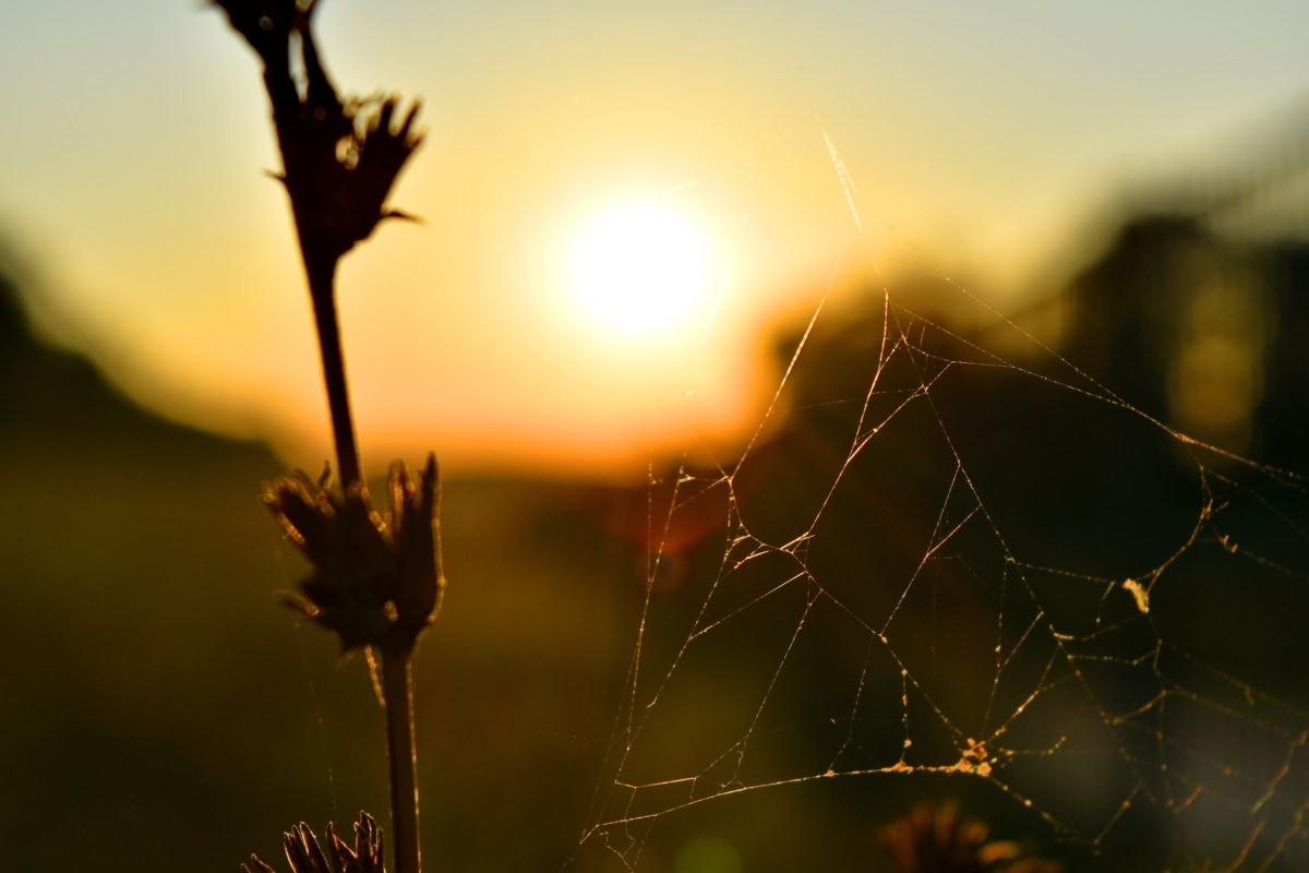 草植物, クモの巣, サンセット, 太陽黒点, 照明, 備品, 夜明け, 自然, 太陽, クモの巣