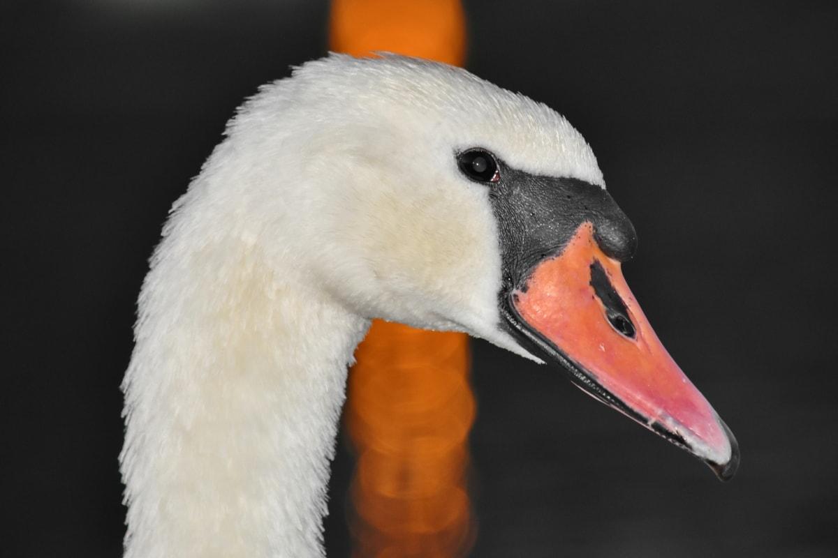 bird, detail, head, portrait, reflection, sunset, swan, beak, aquatic bird, waterfowl