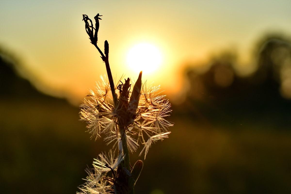 pozadinsko svijetlo, maslačak, sjena, ljeto, zalazak sunca, sunčev zrak, priroda, cvijet, Sunce, zora