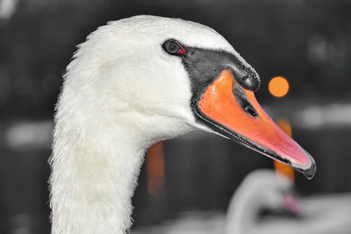 zobák, Podrobnosti, hlava, Příroda, labuť, divoká zvěř, pták, vodní ptactvo, vodní pták, zvíře