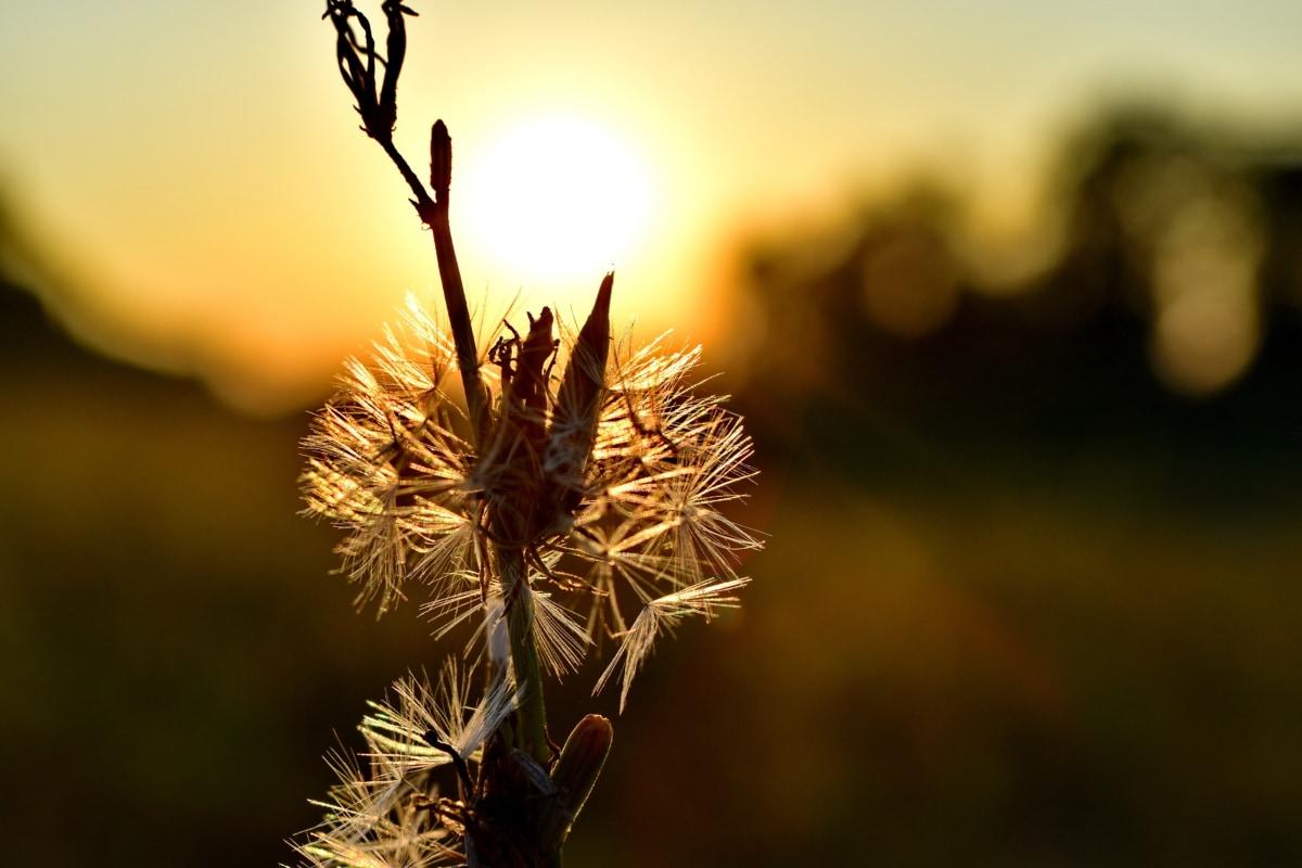 pozadinsko svijetlo, lijepa fotografija, maslačak, sjena, suncevi zraci, biljka, priroda, cvijet, Sunce, na otvorenom