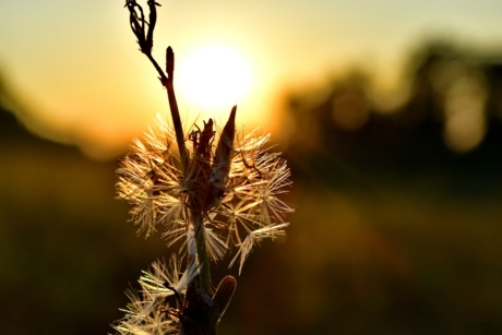 backlight, beautiful photo, dandelion, shadow, sunrays, plant, nature, flower, sun, outdoors