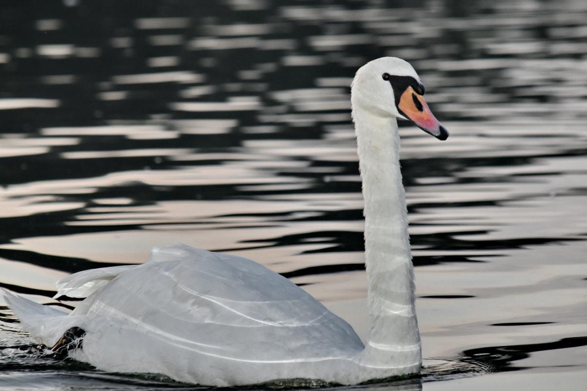 noche, reflexión, Río, cisne, natación, agua, aves acuáticas, vadear el pájaro, pájaro, pico