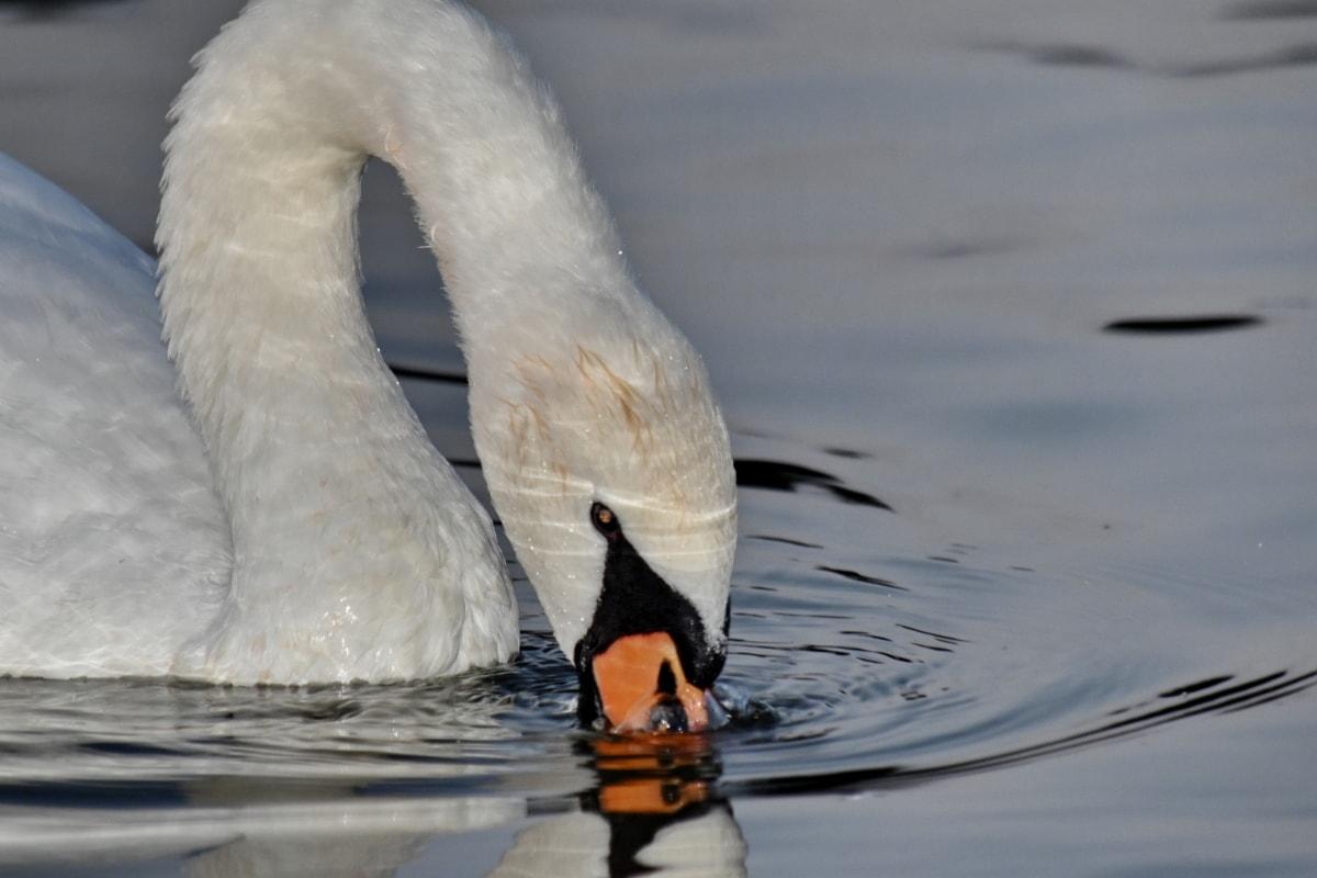 head, neck, swan, water, water level, wildlife, lake, bird, waterfowl, nature