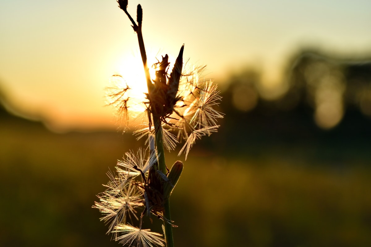 backlight, dandelion, grass, sunset, nature, plant, flower, dawn, sun, outdoors
