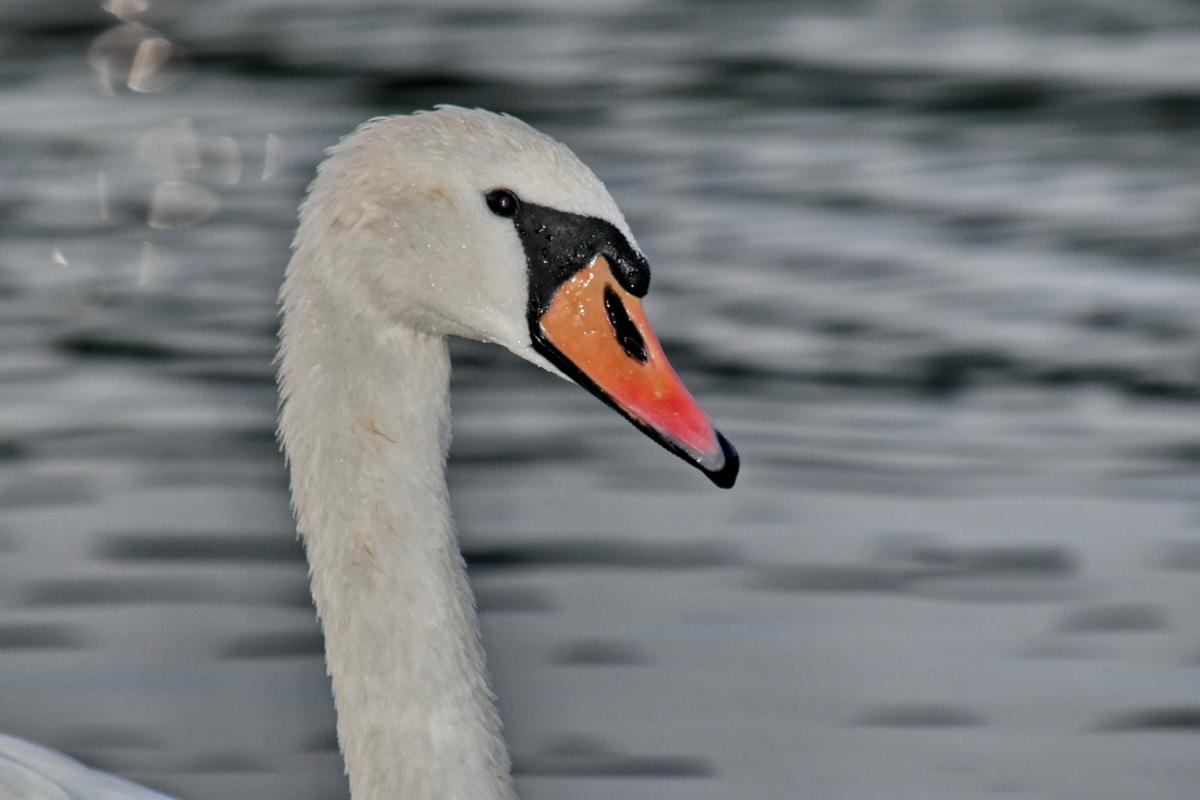 perto, cabeça, retrato, Cisne, molhado, pássaro, bico, vida selvagem, ave aquática, aves aquáticas